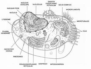 diagrams of an animal cell printable diagram With plant cell typical plant and animal cells diagram plant cell structure