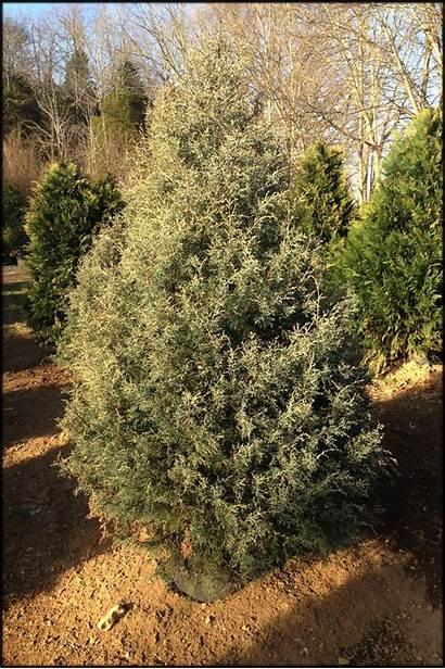 Sapphire Carolina 2ft Mature Cs Trees 7ft