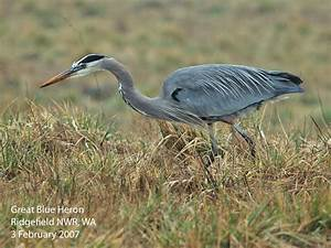 Pictures of Herons on Animal Picture Society