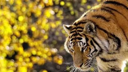 Tiger Siberian Wallpapers Tigers