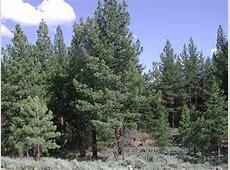 National Tree Of Russia Siberian Fir 123Countriescom