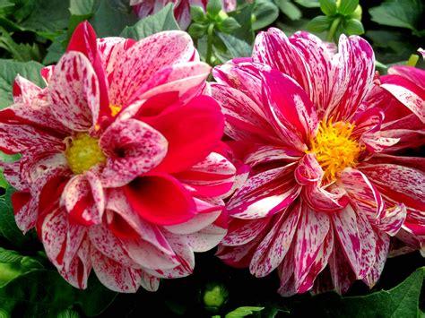 dahlia flower pair  res wallpaperscom