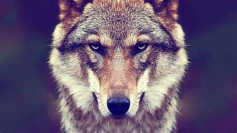 Animal Fur Wallpaper - animals fur wolf nature wallpapers hd desktop and