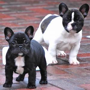 Black And White French Bulldog - wallpaper.