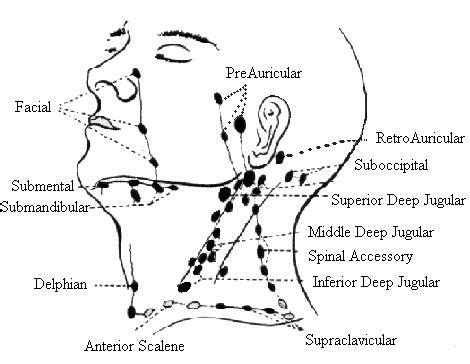head  neck exam flashcards cramcom