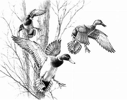 Duck Mallard Pencil Drawing Coloring Pages Drawings