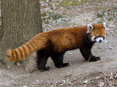red panda  parody wiki fandom powered  wikia