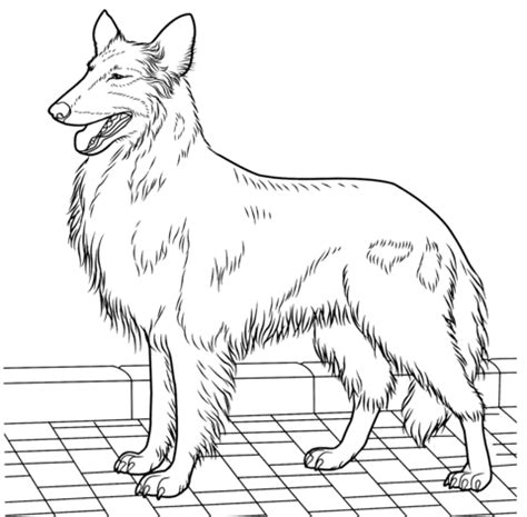 rough collie coloring page  printable coloring pages