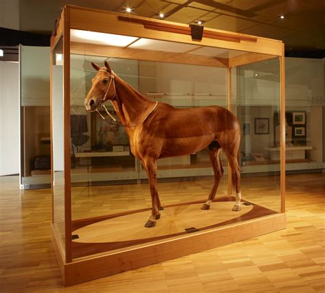 taxidermied mount phar lap  equus caballus