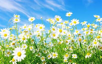 Daisy Wallpapers Desktop Daisies Backgrounds Background Flower