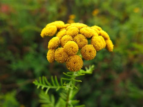 small bathroom painting ideas tansy flowers invasive poisonous herb plants