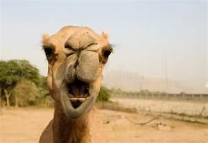 Course De Chameau : portrait de t te dr le de chameau charjah eau image stock image du course mammif re 93863265 ~ Medecine-chirurgie-esthetiques.com Avis de Voitures