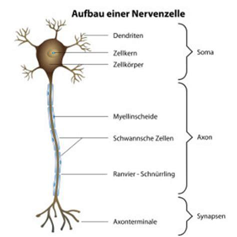 aufbau einer nervenzelle ratgeber nerven de