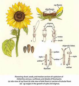 Parts Of A Sunflower Diagram