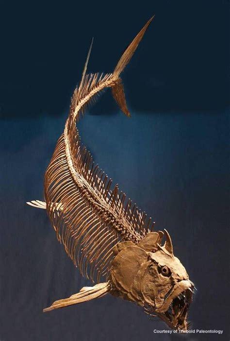 Fosil pez carnívoro gigante conocido como Xiphactinus