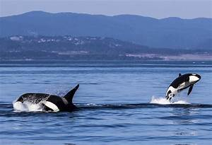 Get Nose To Nose With A Mighty Orca Off Vancouver Island