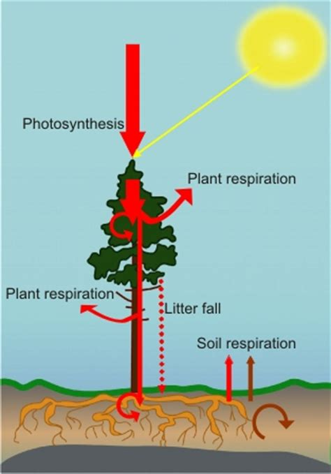 carbon cycle carbon tree