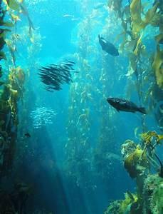 Kelp As Greens