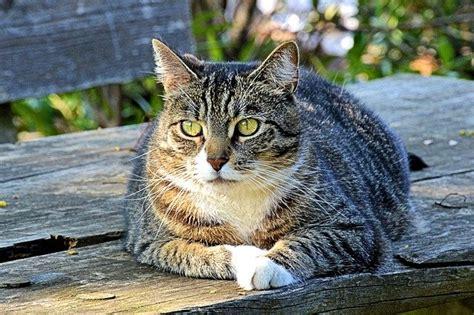 alimentazione diabetico alimentazione gatto diabetico come deve essere dogalize