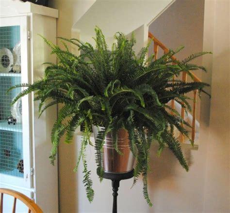 zimmerpflanzen wenig licht farne deko idee feuchtigkeit