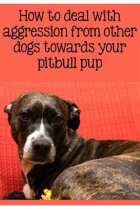 pitbull puppy training tips addressing aggression
