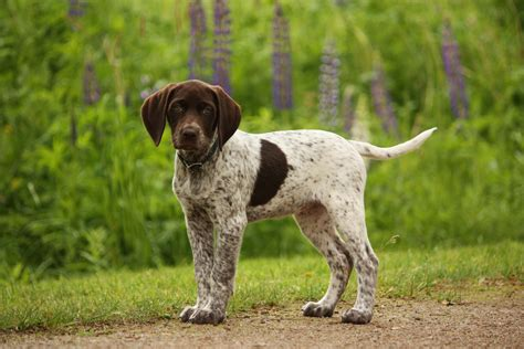 german shorthaired pointer shedding great breeds german shorthaired pointer