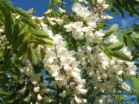 recette de cuisine marmiton beignets de fleurs d 39 acacia la cuiller en bois