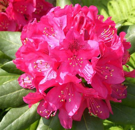 Rhododendron 'Germania' - Mūžzaļais rododendrs
