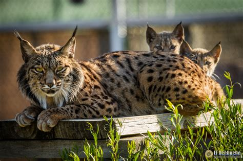 lynx iberian endangered program andalusian return sun under cgtn extensive monitoring released wild credit training through before young they go