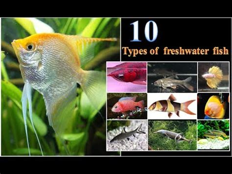 types  freshwater aquarium fish youtube