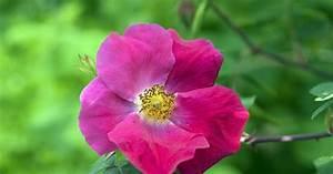 Rose Mein Schöner Garten : essig rose rosa gallica informationen tipps tricks ~ Lizthompson.info Haus und Dekorationen