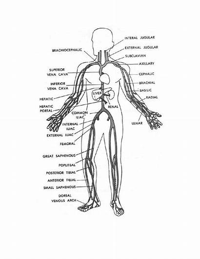 Human Coloring Veins Pages Main Systems Drawing