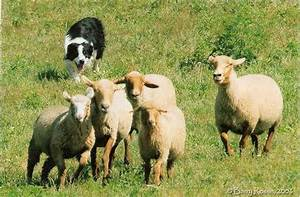 Why are sheep such wimps when being herded by herding dogs ...