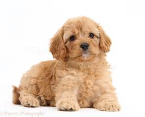 6 Week Old Cavapoo Puppy Pictures