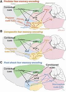 Hypothetical Circuits Mediating Memorization Of Fear To