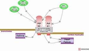 adrenergic beta receptor agonist and beta-blocker ...