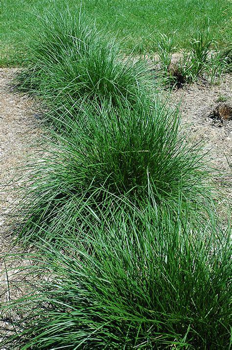 tufted hair grass deschampsia cespitosa  burlington