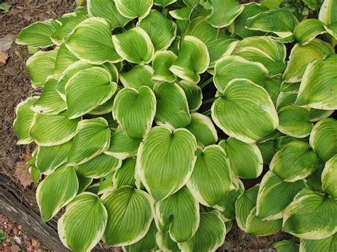 hosta shade online plant guide hosta shade fanfare shade fanfare hosta