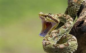 Snakes open mouth reptiles wallpaper | 1920x1200 | 118538 ...