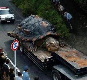 The gallery for --> The Biggest Turtle In The World