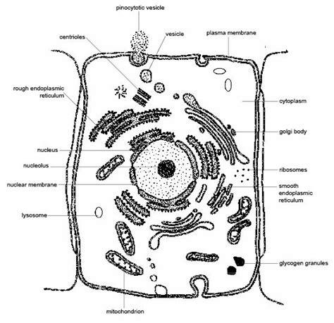 fileanatomy  physiology  animals animal cell