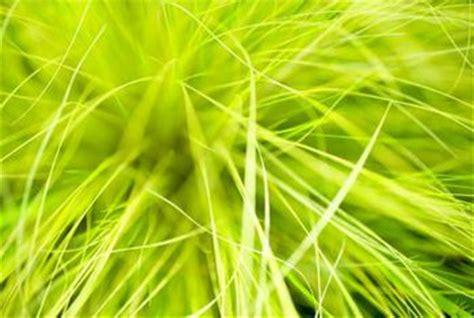 evergreen grasses home guides sf gate