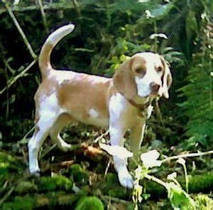 Full grown mini beagle | Puppys | Pinterest | Mini Beagle ...