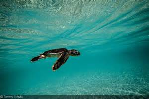 Baby Green Sea Turtles Swimming