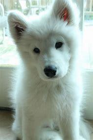 Fluffy White Puppy German Shepherd