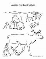 Caribou Coloring Calves Pages Herd Calf Printable Getcolorings Nature sketch template
