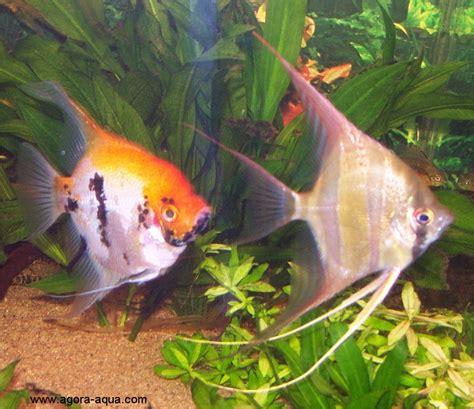 poisson amazonien d aquarium poissons amazoniens