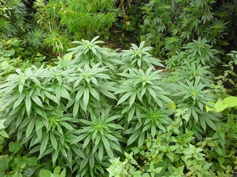 outdoor plants early by nirvana seeds seedfinder strain info
