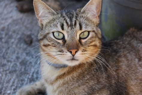 Fauna, Close Up, Whiskers, Vertebrate, Tabby