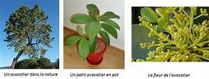 Comment Tailler Un Abricotier : 10 fruits tropicaux mang s 10 plantes tropicales faire ~ Melissatoandfro.com Idées de Décoration